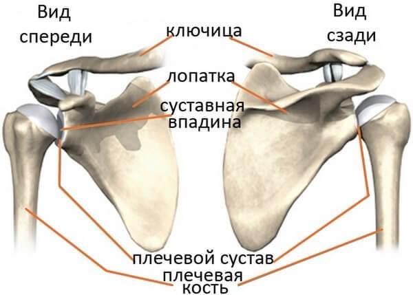 структура плечевого пояса