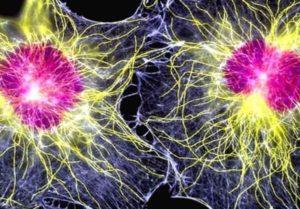 стволовые клетки