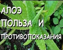 лекарственное растение столетник