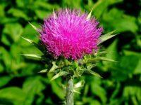 розовый цветок расторопши