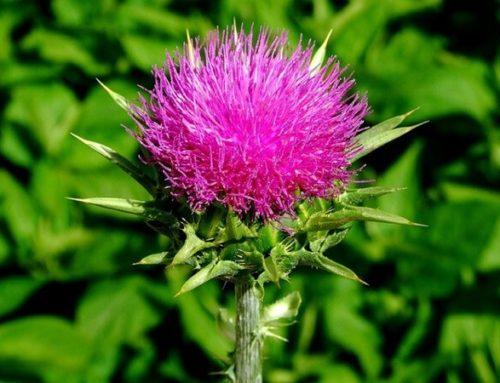Расторопша: обзор лекарственного растения и его применение