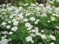 белоцветущее целебное растение