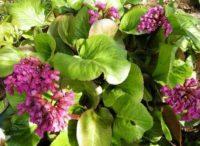 растение бадан в цвету