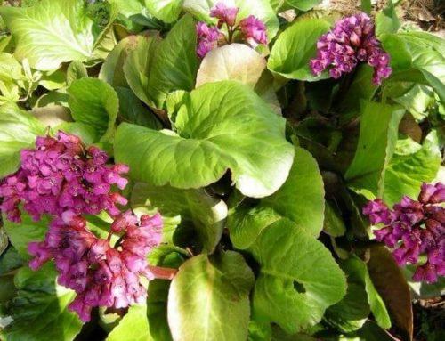 Бадан: описание и характеристика лекарственного растения