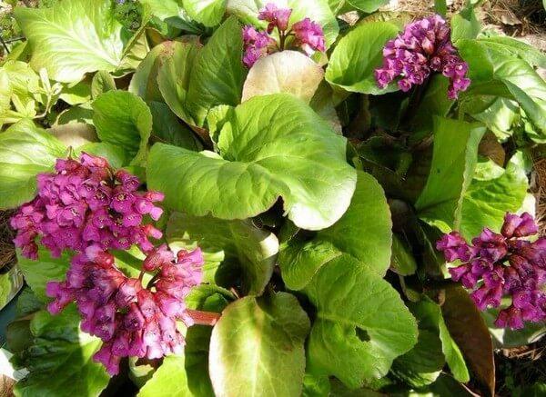 Трава бадан лечебные свойства и противопоказания