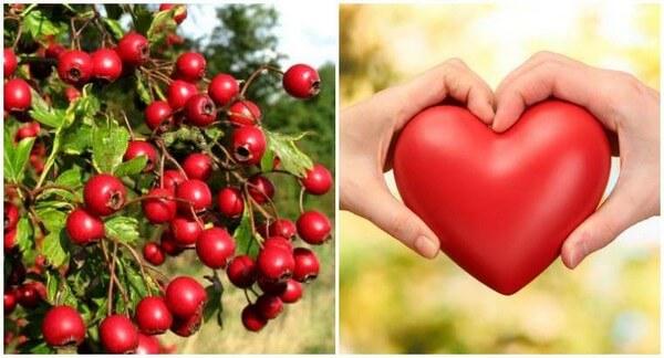 боярышник при проблемах с сердцем