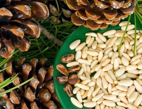 Кедровые орехи: применение, полезные свойства и рецепты