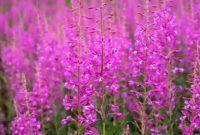 яркие цветки иван-чая в поле