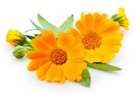 оранжевые цветки календулы