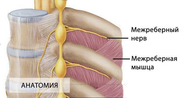 анатомия строения